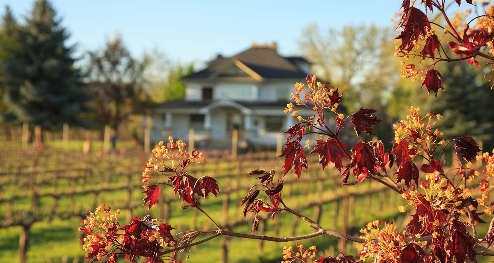 Grape vines in autumn