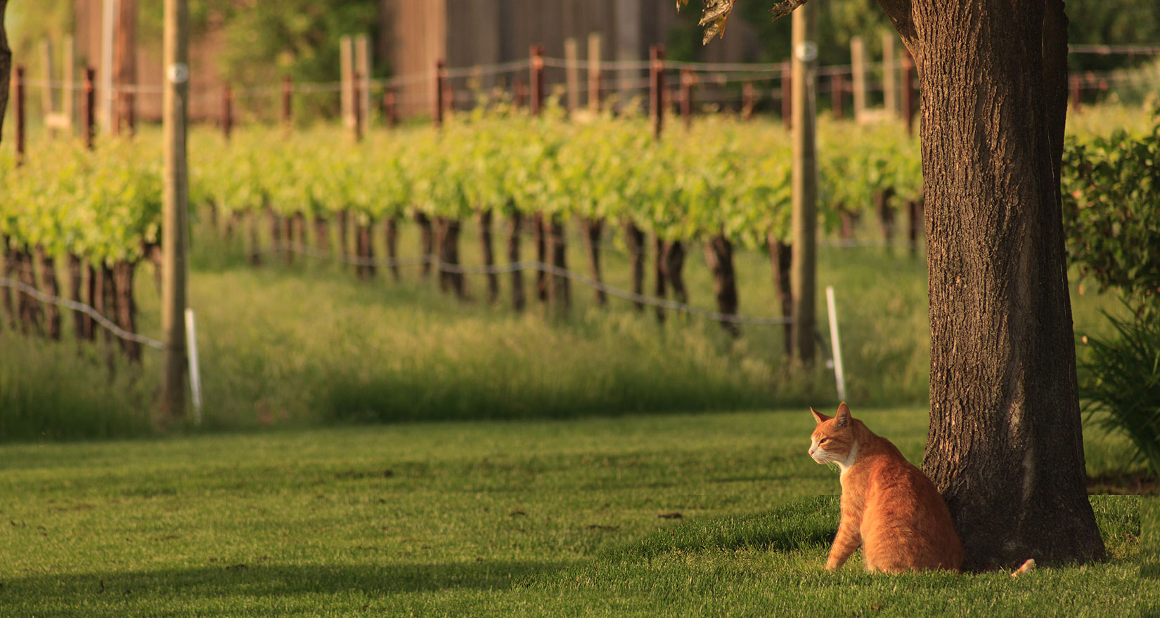 Cat in vineyard