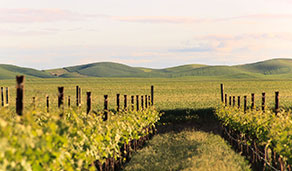 Vineyard and distant hills